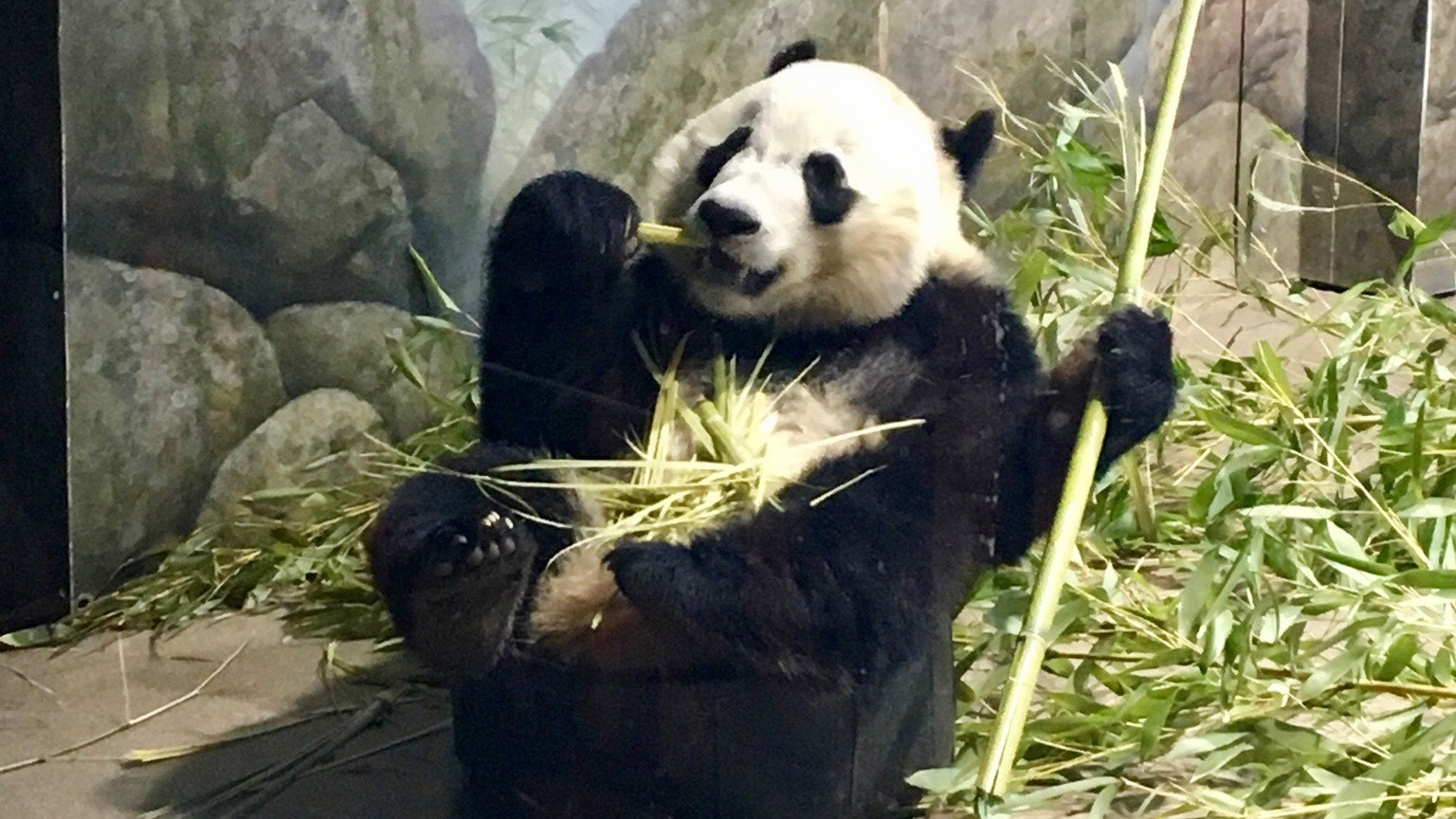 One of the three Giant Pandas in its enclosure at the Smithsonian National Zoological Park.