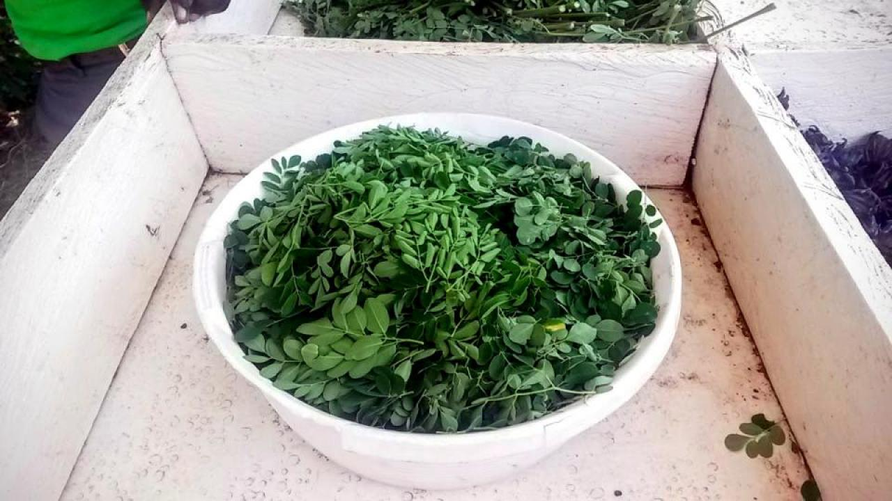 Bowl of harvested moringa in Rongo, Kenya at the Lawala Community Clinic